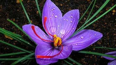 Bunga  Saffron Crocus