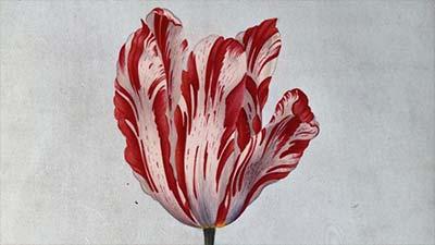 Dutch 17th Century Tulip
