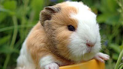guinea pig untuk dikonsumsi