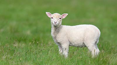 anak domba untuk di konsumsi