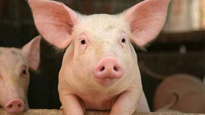 babi perternakan