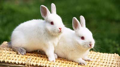 kelinci untuk dikonsumsi