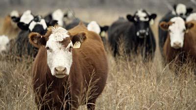 sapi perternakan