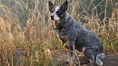 Australian Cattle dog grey