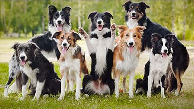 Border collie family dog