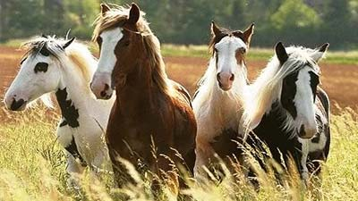 kuda padang rumput